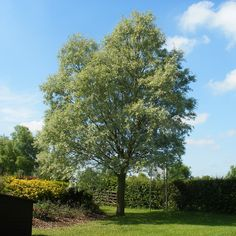 Salix alba - White Willow. Native to UK. Plants Online | Trees and Hedging