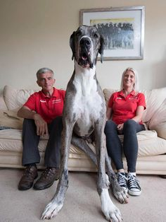 Great Danes'll require a fair bit of exercise, but if you have the time to give them two or three walks a day, they'll be perfectly happy.
