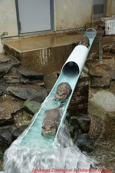 """""""寒くても元気!というアピール。#市川市動植物園 #カワウソ"""""""