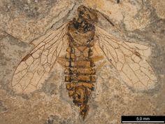 One of the earlist wasps found: a 240 million year old primitive wasp.
