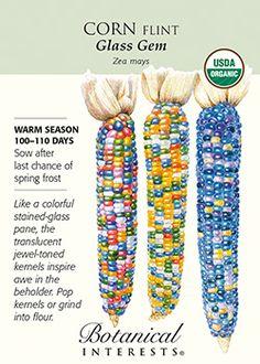 Corn Flint Glass Gem Organic Seeds