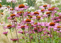 Echinacea purpurea 'Pink Parasol' - Solhat, farve: pink, lysforhold: sol, højde: 90-120 cm, blomstring: juni - september, god til bier og andre insekter, busket plante.