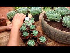 (23) Echeveria Glauca - YouTube
