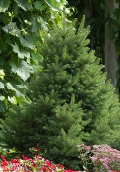 Dwarf Evergreen Trees: 15 Exceptional Choices for the Yard a.- Dwarf Evergreen Trees: 15 Exceptional Choices for the Yard and Garden Small-statured evergreen trees: 15 choices - Dwarf Evergreen Trees, Evergreen Trees Landscaping, Small Evergreen Shrubs, Small Pine Trees, Evergreen Landscape, Landscaping Shrubs, Evergreen Garden, Lawn And Landscape, Garden Shrubs