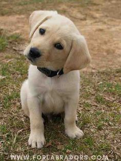 Mind Blowing Facts About Labrador Retrievers And Ideas. Amazing Facts About Labrador Retrievers And Ideas. Golden Retriever, Labrador Retriever Dog, Labrador Dogs, Pet Dogs, Dogs And Puppies, Doggies, Baby Puppies, Too Cute Puppies, Puggle Puppies