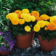 1. YOUR FAVORITE FLOWER TO GROW -- Marigolds #organic and #gardening