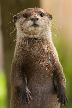 Even though River Otters are not listed as Endangered species, their range has been greatly reduced over the years by habitat destruction and they are vulnerable to pollution and toxins in the environment.