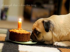 Dog is eager to eat his birthday cake #cakewithacandle