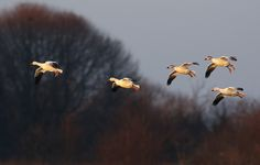 In Coming Snow Geese | Flickr - Photo Sharing!