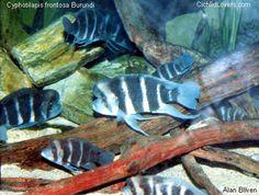 "Cyphotilapia frontosa Burundi ""6 stripe"""
