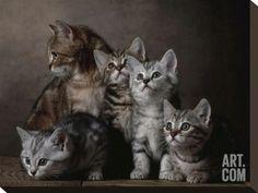 European short-haired kittens