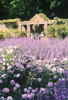 Image Detail for - JBG0032: Lavender and rose bed in walled garden - Narratives Photo ...