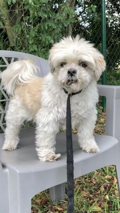 Shih Tzu Rescue | Available Dogs for Adoption Shih Tzu Rescue, Shih Tzu Puppy, Small Dog Rescue, Rescue Dogs, Poodle Mix Breeds, Dog Breeds, Teddy Bear Poodle, Shih Tzu For Sale, Biewer Yorkie