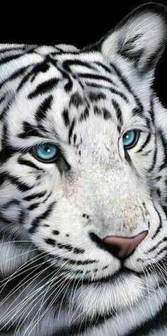Blue eyes on  white tiger ♡♡