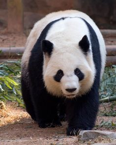 Giant Panda at the Atlanta Zoo (Zoo Atlanta) in Atlanta, Georgia #panda #atlanta #travelga