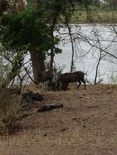 Warthog - Liwonde National Park, Malawi