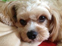 Bailey - sweet Cavachon