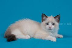 2015: Darcy A Zwollywood Cat. 9 Weeks old. Ragdoll kitten, seal bicolour. Dark world litter.