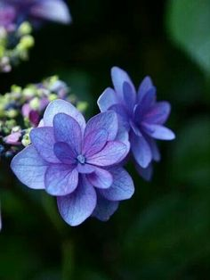 Hydrangea 'Melancholy'. Love that blend of blue and mauve.