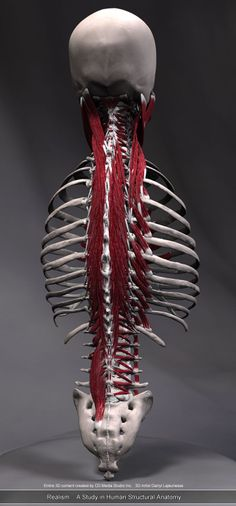 spinal muscles