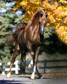 Arabian Stallion RHR Marcedes - Don Manuel Arabians / ArabHorse.com