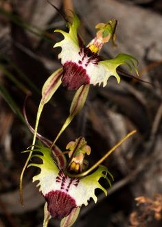Caladenia Tentachlata Orchids !!  Agustralia 2012-09-28 to 30 Victoria - Ron Parsons - Picasa Web Albums