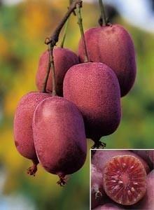 Актинидия женская «Пурпурная», 0.5 - 10л: купить в Киеве | Цены, фото и отзывы в интернет магазине Garden House