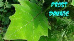 ⟹ Naranjilla aka lulo, Solanum Quitoense ♕ Nectar of the gods ♕ UPDATE 1...