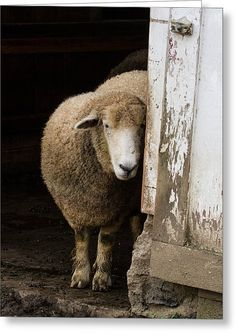 Hide N Sheep Art Print by Chuck Homler. All prints are professionally printed, packaged, and shipped within 3 - 4 business days. Choose from multiple sizes and hundreds of frame and mat options. Alpacas, Beautiful Creatures, Animals Beautiful, Chow Chow, Farm Animals, Cute Animals, The Thorn Birds, Baa Baa Black Sheep, Sheep Art