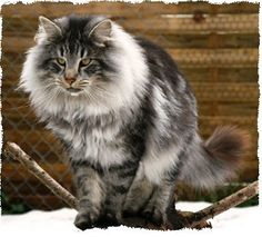 Fluffy cat breeds - My Norwegian Forest cat Boots is a twin to this beauteous vision of lovliness :)