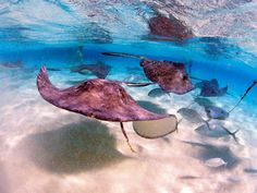 One of the more unusual highlights of a trip to Grand Cayman Island is the chance to snorkel at Stingray City, surrounded by a virtual fleet of 50 of one of the ocean's most fascinating and friendly creatures. The water is shallow (less than five feet deep) and crystal clear, making it great for beginners. Visitors are given ray-appropriate treats, and snorkel gear is included in the price of admission. Favorite place to stay: The ultra-elegant Ritz-Carlton, Grand Cayman (its sushi rest...