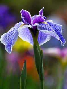 studioview: Japanese iris by Most Beautiful Flowers, Unique Flowers, Exotic Flowers, Pretty Flowers, Beautiful Gardens, Iris Flowers, Flowers Nature, Planting Flowers, Japanese Iris