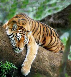 El tigre de Bengala es la especie de tigre más numerosa del mundo, y la segunda…