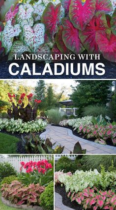 Low maintenance caladiums are bigger, brighter and easier to grow than ever. They look great from July to September without a bit of attention. Learn more about landscaping with caladiums!