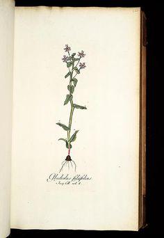 1781-93 - v.2 - Icones plantarum rariorum - edited by Nicolao Josepho Jacquin.