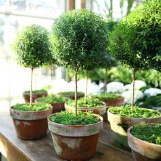 Myrtle Topiary, Large in Gardening PLANTS Greenhouse at Terrain