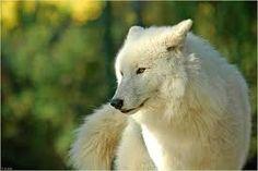 weisser wolf - Pesquisa Google