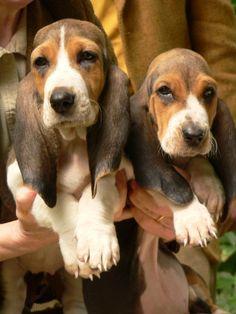 Basset Artésien Normand (Norman Artesian Basset & Basset Artesien Normand) #Dogs #Puppy