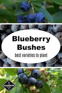 Edible Gardening Discover the best varieties of blueberries to grow in your climate with growing tips on highbush, lowbush, midhigh and rabbiteye blueberries. Slugs In Garden, Garden Insects, Fruit Garden, Garden Pests, Edible Garden, Herbs Garden, Organic Gardening, Gardening Tips, Vegetable Gardening