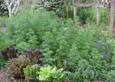variety of leaf lettuce, spinach, fennel bulb, random larkspur