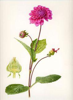 Dahlia Folio illustration agency, London, UK   Carolyn Jenkins - Watercolour ∙ Painterly ∙ Botanical ∙ Horticultural ∙ Photorealism - Illustrator