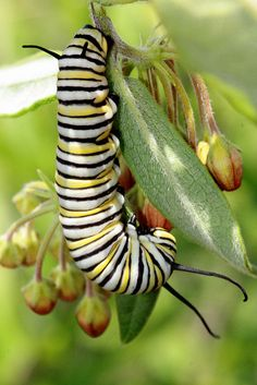 Monarch Butterfly Larvae.  If you see this guy near your carrots or parsley consider letting them share your grub.