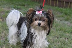 biewer yorkie | les lices reproductrices Biewer Yorkshire terriers