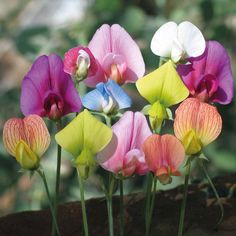 sweet pea on trellis | Sweet Pea 'Annual Species Mixed' - Hardy Annual Seeds - Thompson ...