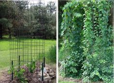 19 GREAT Garden Arbor Idea and 2 easy projects.   Jeanne Sammons shows her hog panel arch, before and after planting