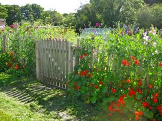 A profusion of Jewel-like Nasturtiums edge the boundary of the Allotment