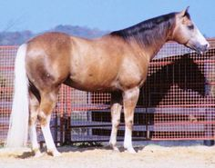 An oddly colored palomino quarter horse. It has the white tail and golden body color typical of a palomino but has a dark mane that makes it look more buckskin at the front end. - Equine Color Genetics