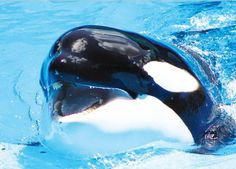 Let Willie Colón know that it's wrong to support a company that deprives orcas of everything that's natural and important to them!