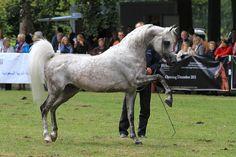 Grey arabian horse stallion