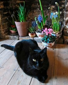 Black Cat tiptoeing through the pots of Spring Bulbs. Most cats are curious about flowers and herbs. I have found them sniffing at scented soaps, light cologne scents, scented powders, laundry just finished. They love napping in the clean laundry. I have even seen them sniffing lightly scented room deodorizers.